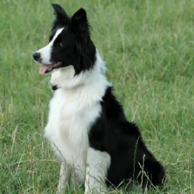 The Polish Lowland Sheepdog